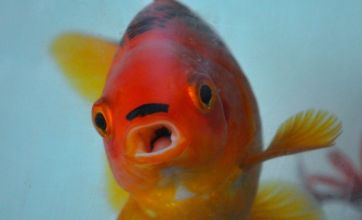 George the goldfish develops Hitler moustache