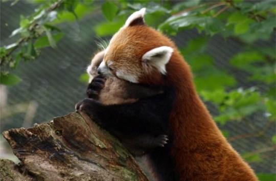 Cute alert: Red panda hugs cub before it takes its very