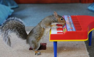 Sammy the squirrel learns to bash the keys on toy piano