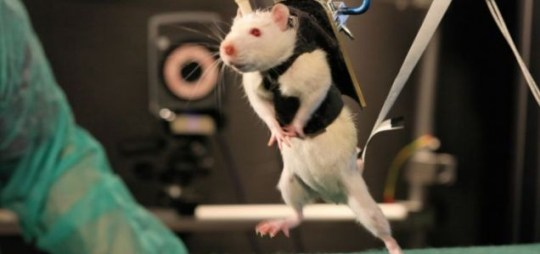 paralysed rats learn to walk again