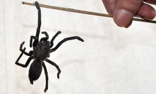 Killer spiders India