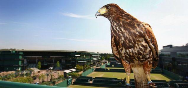 Rufus the Harris Hawk, stolen.