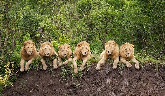 Lions, Black Rock Pride, Serengeti