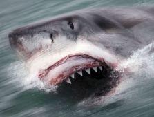A Great White , shark