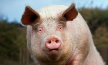 Operation Danish Bacon: Army defends shooting pigs for surgeons to operate on