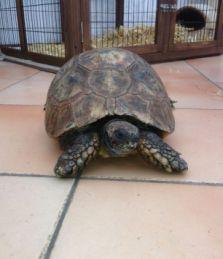 Thomas, tortoise