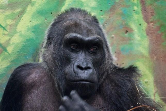 Colo the gorilla, Columbus zoo