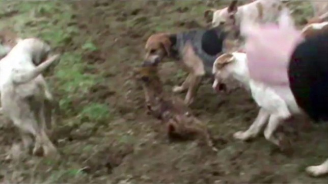 Savaged: A video still shows the Heythrop hunt pack ripping into a fox (Picture: PA)