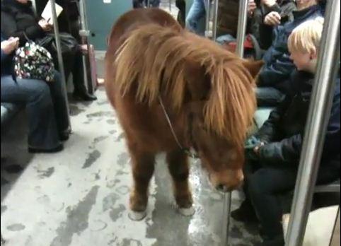 Shetland pony taking a ride on the Berlin subway