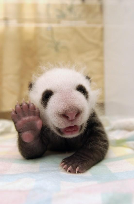Cute panda waving