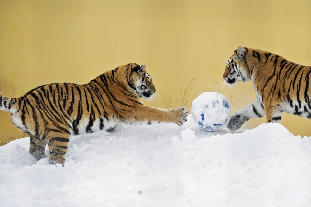 Two tigers play in the snow