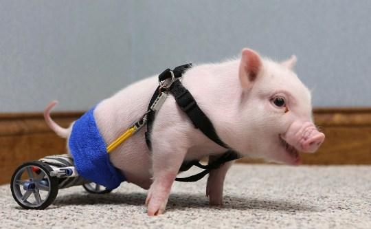 Chris P. Bacon pig on wheels