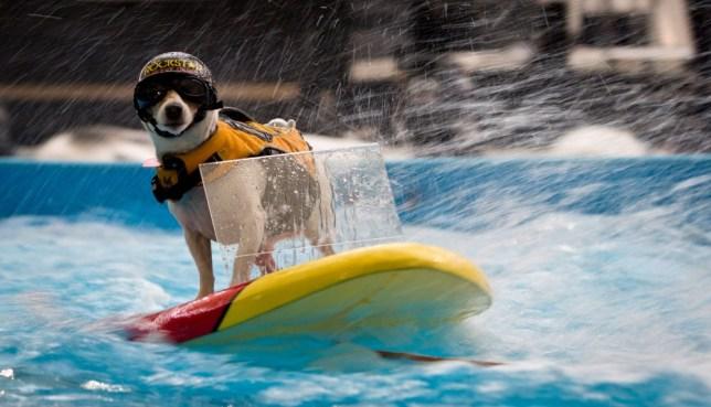 Duma water skiing dog