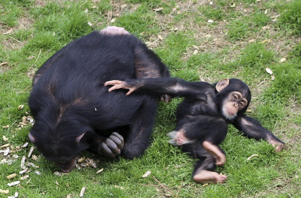 Gallery: Chimps retire at Chimp Haven 2013