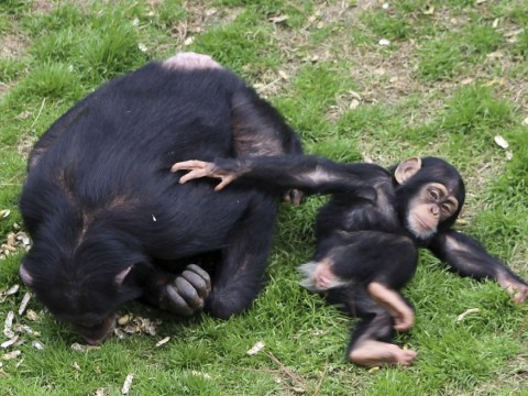 Gallery: Chimps retire at Chimp Haven 2013