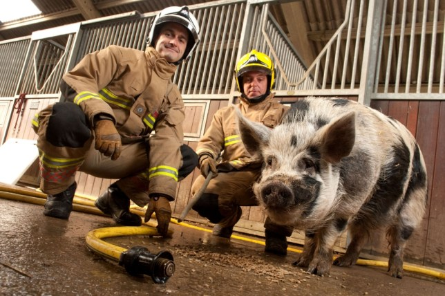 Dominic the pig
