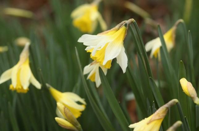 Daffodils emerge at Kew Gardens