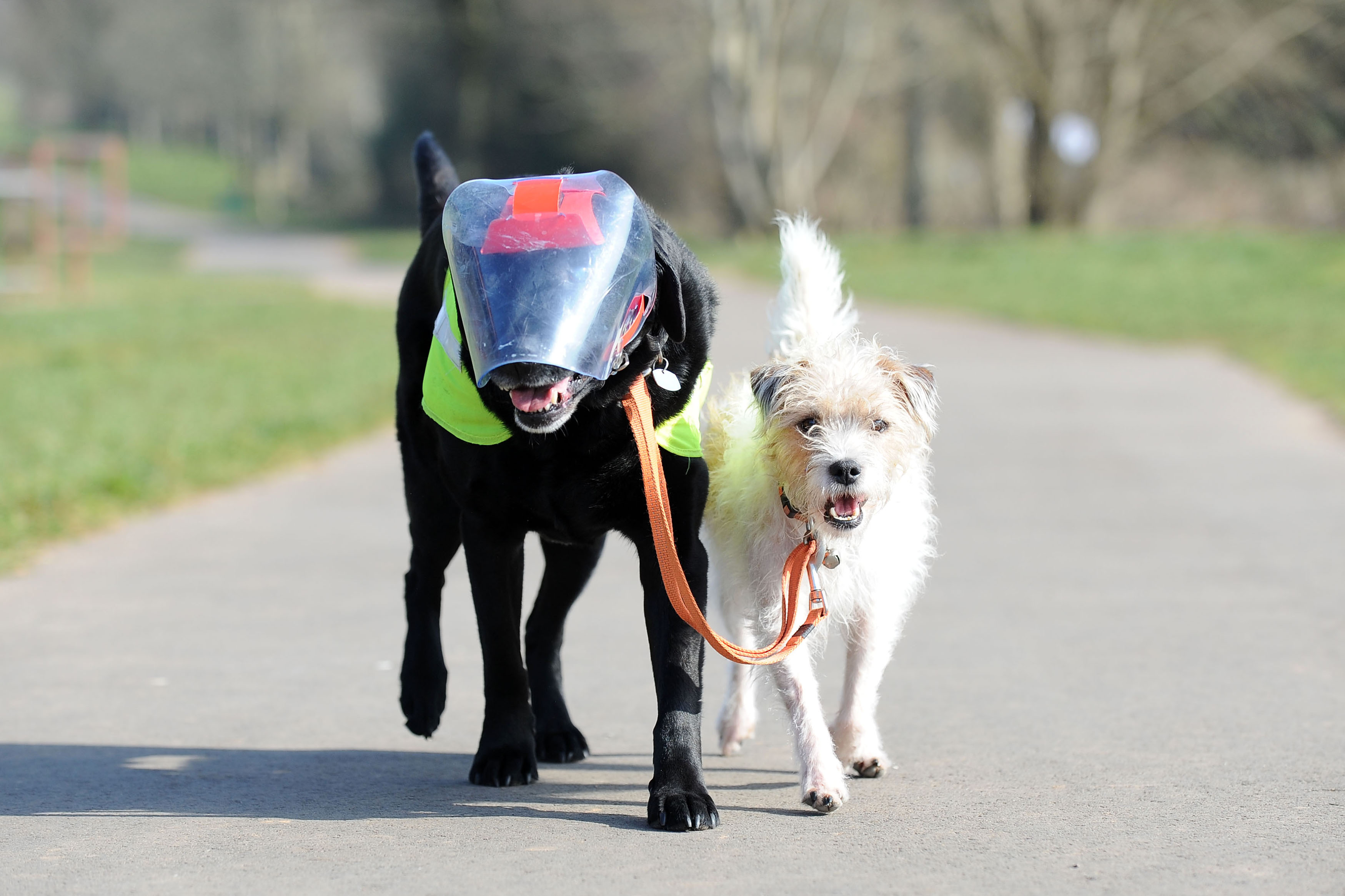 Meet the guide dog with a difference… a terrier who guides his buddy