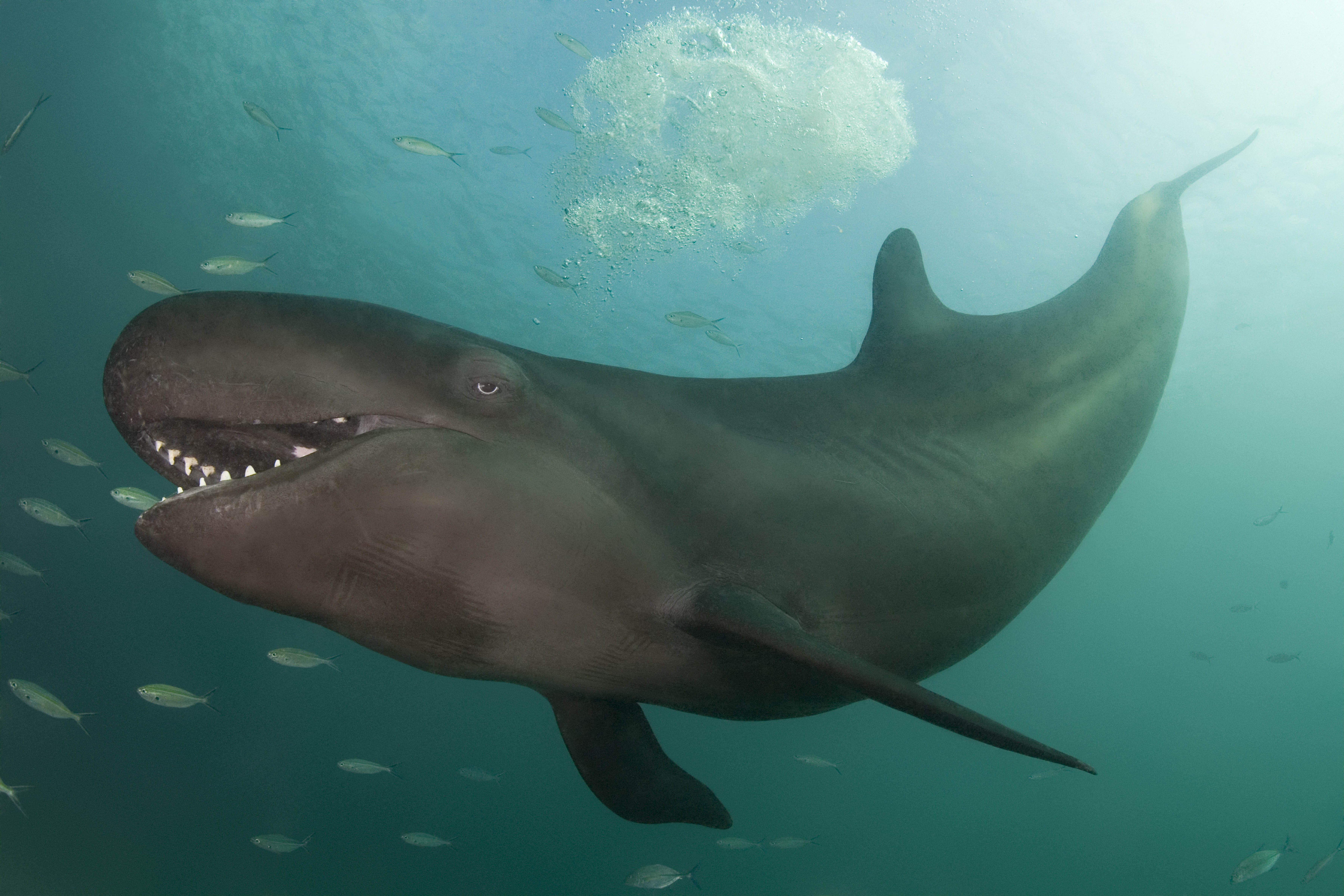 False killer whale 'grins' while hunting