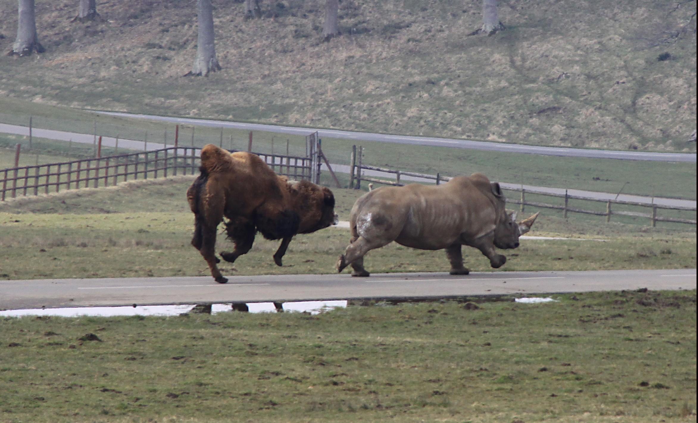 camel v rhino