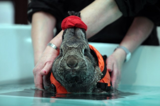 Giant rabbit has swimming sessions in life jacket and hair bobble