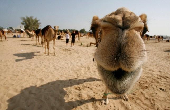 12 Dec 2010, Doha, Qatar --- (101212) -- DOHA, Dec. 12, 2010 (Xinhua) -- A camel looks into camera in the outskirts of Doha, capital of Qatar, Dec. 11, 2010. The camels will attend Qatar's National Day parade next Saturday.(Xinhua/Maneesh Bakshi) (djj) --- Image by   Du Jian/Xinhua Press/Corbis