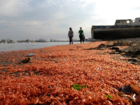 Thousands of dead prawns washed ashore in Chile