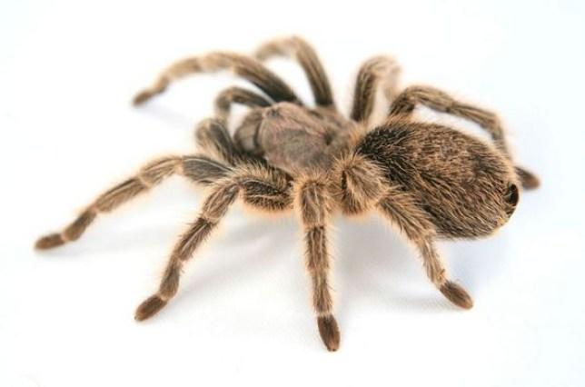 Cardiff tarantula