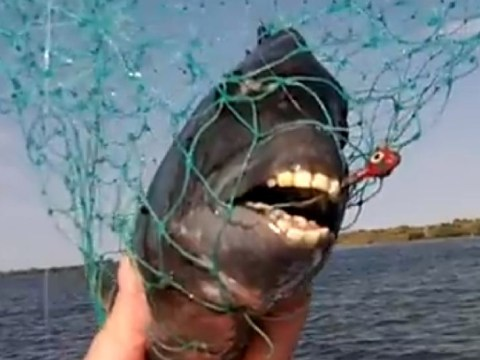 You've seen dog with a human face, now meet the fish with a person's teeth
