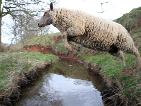 The woolly jumper: Lavender the leaping ram is ahead of the field