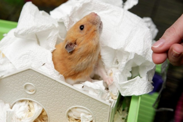 Hamster resurrection: pet comes back from grave at Easter