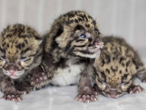First look at rare clouded leopard cubs born at Nashvlle Zoo