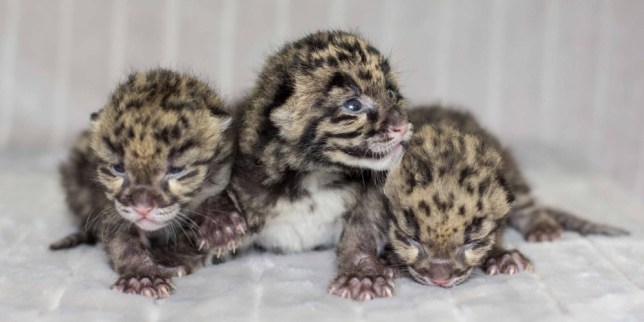 PIC BY AMIEE STUBBS / CATERS NEWS - (PICTURED Adorable Clouded leopard cubs) With their tiny paws and delicate whiskers these utterly adorable balls of fluff are three of the rarest breed of leopard in the world. Born thanks to a special conservation program, the cuddly trio snuggle together to keep warm as they pose for their first shoot since being born just two weeks ago. Clouded leopard Jing Jai gave birth to one female cub and Baylie gave birth to one male and one female - with all three happily being hand-raised by the Zoos animal care staff. This breed is considered endangered because of deforestation, poaching and the pet trade. Carnivore supervisor at Nashville Zoo Karen Rice said: The zoo is a leader in clouded leopard conservation - with 18 clouded leopards born at our off-exhibit breeding facility since 2009. SEE CATERS COPY