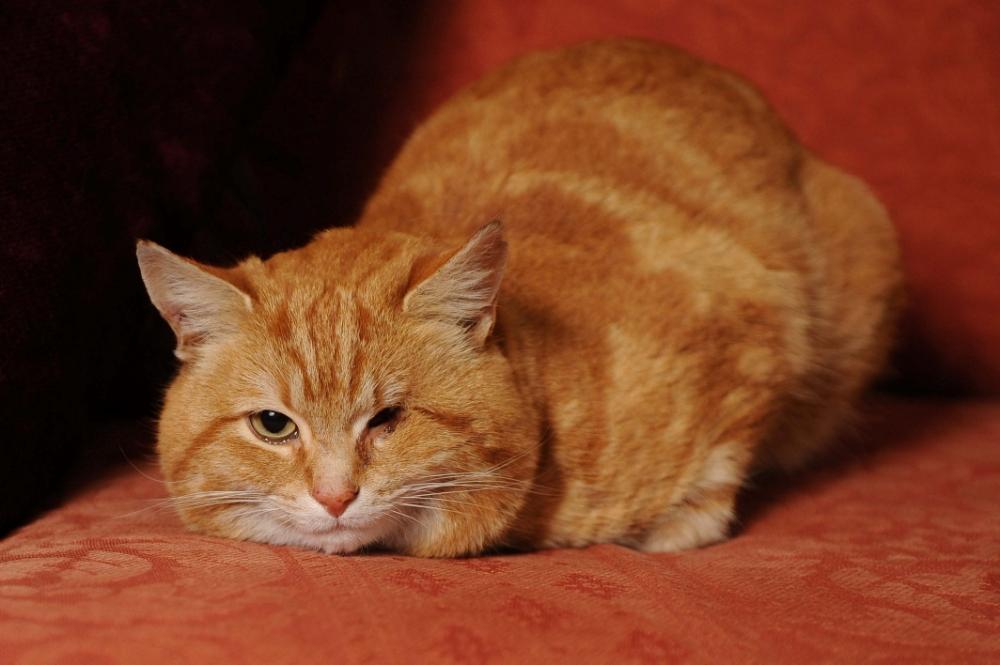 Ginger, one-eyed cat