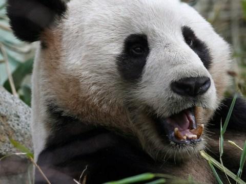 Terrified pandas climb into trees to escape Sichuan earthquake in China
