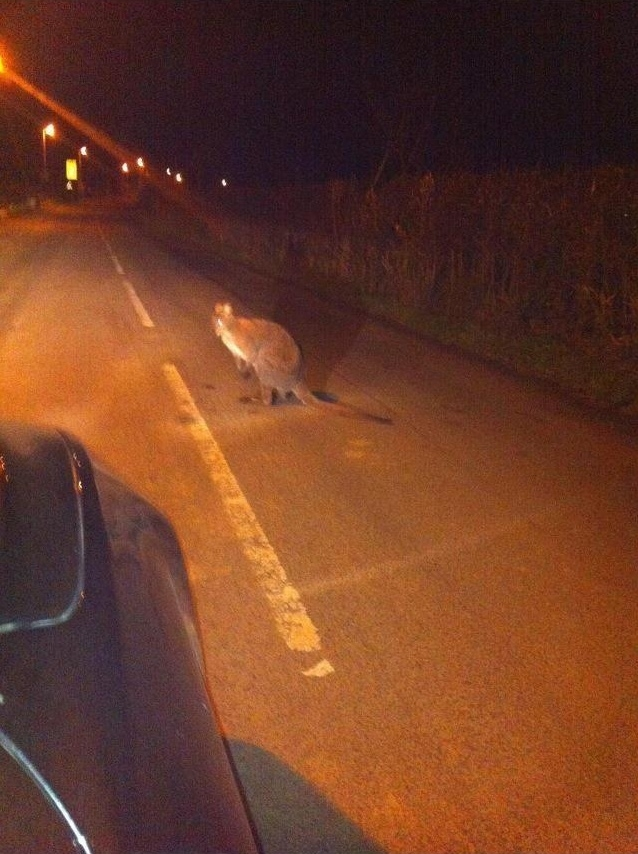 Police snap fugitive kangaroo crossing road in Lancashire… but it could be a wallaby
