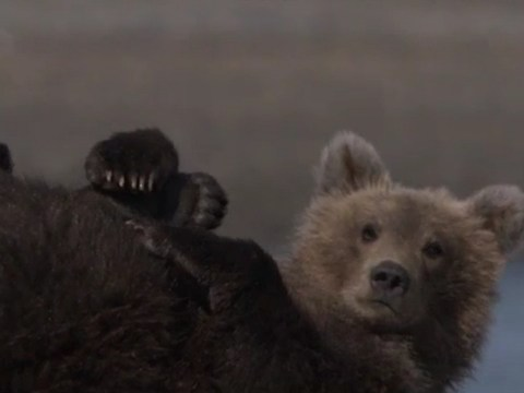 Great Bear Stakeout was a nature doc with narrative