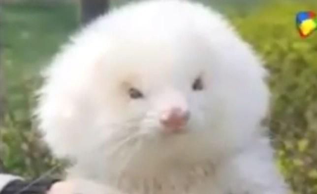Ferret, poodle, Argentina