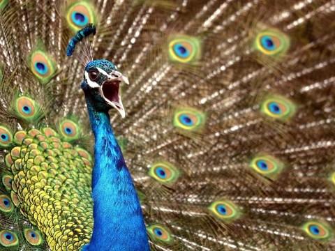 Illinois man David Beckman 'sexually abused his pet peacock'
