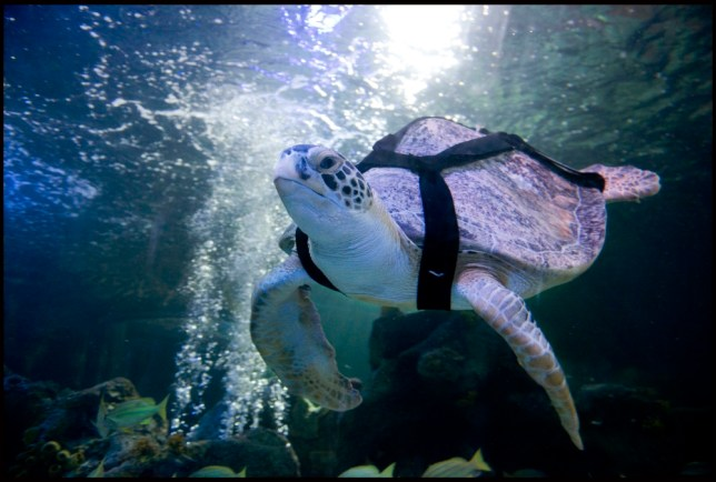 Injured turtle in a harness named after Muhammad Ali is a true heavyweight fighter