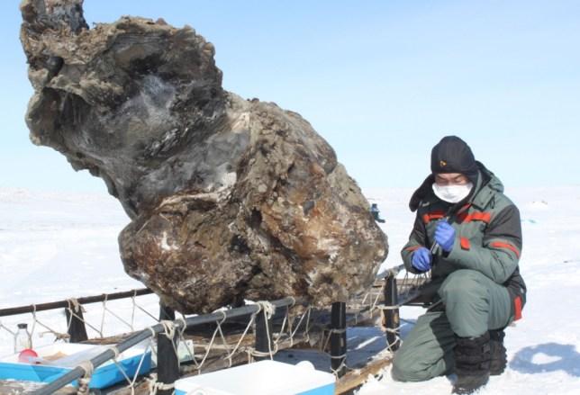 Woolly mammoth carcass