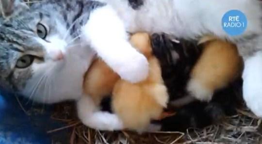 Cat breast feeds ducklings