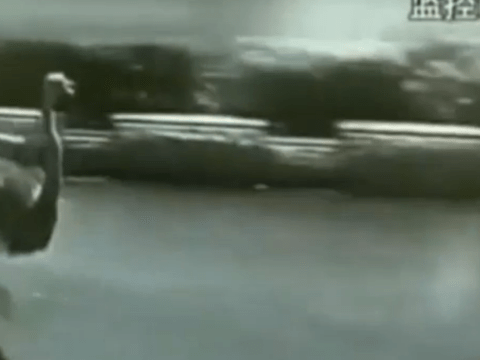 Ostrich causes chaos as it flees police in rush-hour China traffic