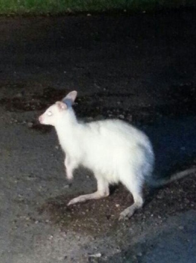 Wallaby on the loose in Solihull