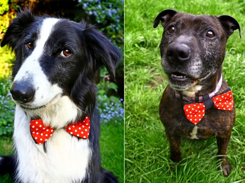 Bow ties for dogs: What will they think of next?