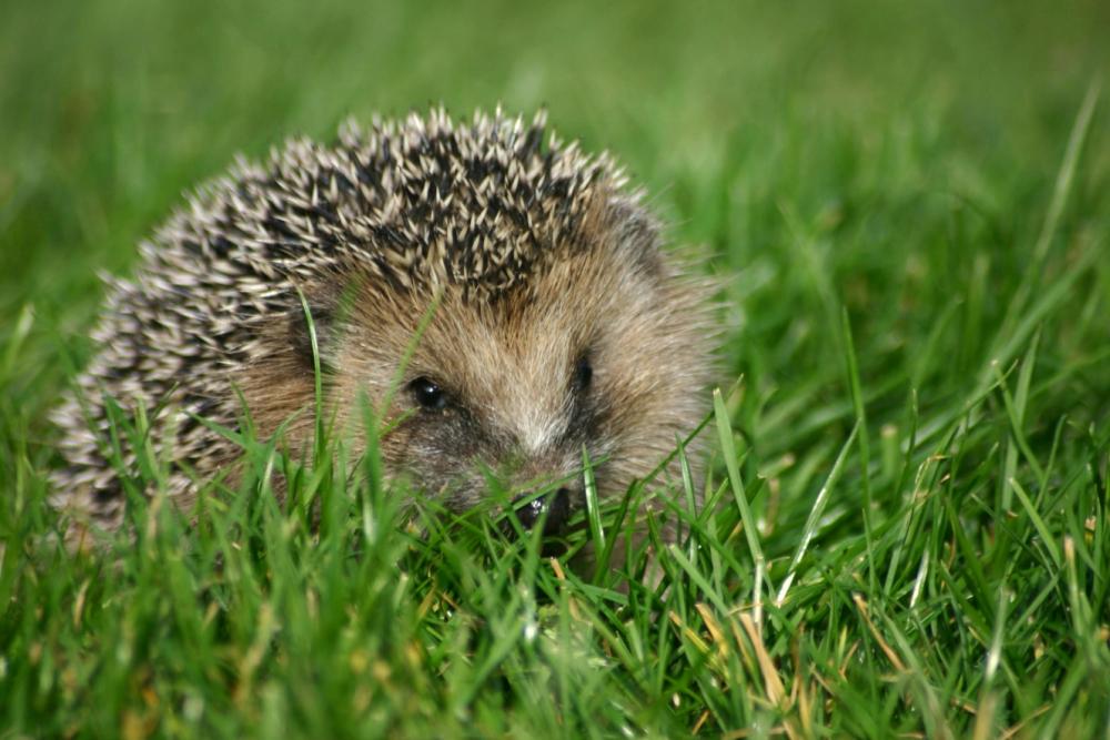 How to provide a house for a homeless hedgehog
