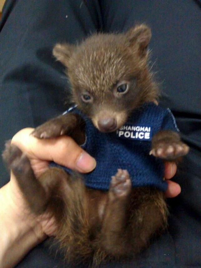 Mandatory Credit: Photo by HAP/Quirky China News / Rex Features (2588396a)  The baby raccoon in a mini police uniform  Baby raccoon mistaken for a bear cub is rescued by a police officer, Shanghai, China - 08 Jun 2013  An adorable baby raccoon, which was first confused for a bear cub, is seen at a police station in Shanghai, China. According to police officer Li Wenyue she responded when a local man reported that he had discovered a bear cub in his back garden. Liu went and collected the bear and made a temporary home for it in a shoebox at the police station. She also posted several photos of the animal, wearing a mini police uniform, online. Following this she was contacted by a person from the local forestry department who told her that the
