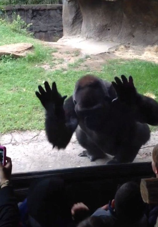 Angry gorilla gets revenge on taunting kids at Dallas Zoo