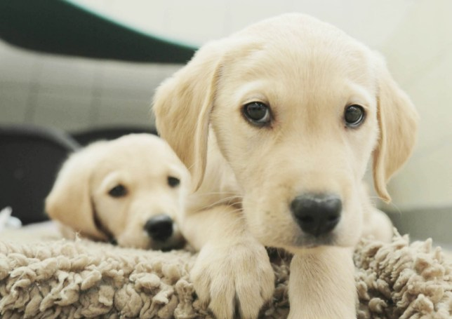 Golden Labrador puppies make excellent guide dogs (Picture: ITV)