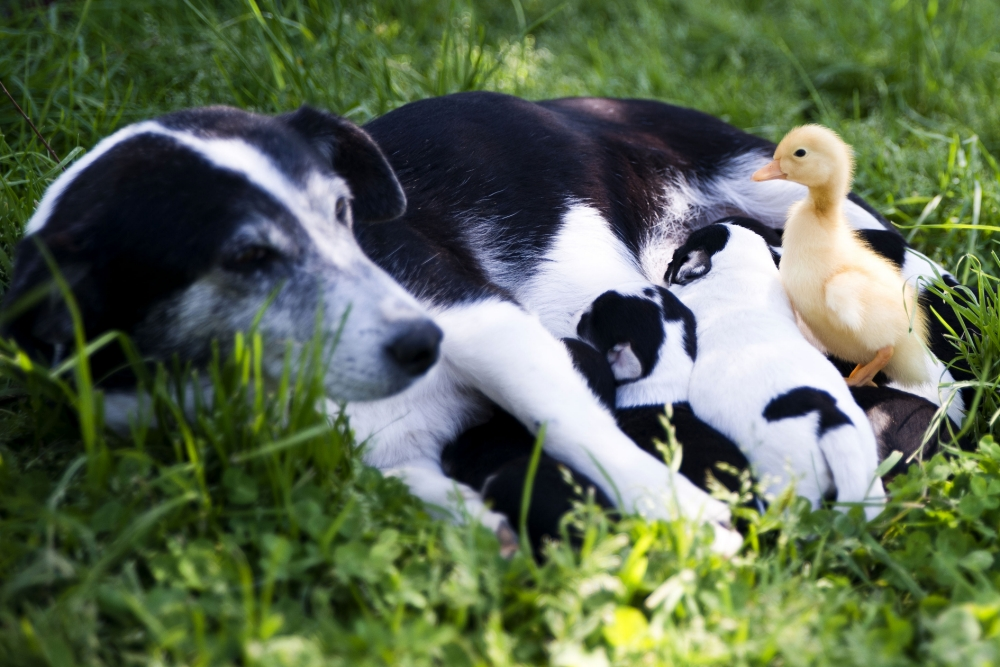 PIC BY ONUR KIZILYEL / CATERS NEWS - (PICTURED: The duckling with the dogs) An adorable duckling abandoned at birth has found an unlikely guardian and friend in a lovable dog. The tiny bird formed a remarkable bond with the caring mongrel, called Tarcin, after being left at birth by its own mum. The pair are now inseparable after spending every possible moment together at their home - a village farm in the Kocaeli province of Turkey. Photographer, Onur Kizilyel, captured the extraordinary relationship on camera while visiting the farm near his home just a few days ago. The 31-year-old said: The little duckling has spent practically all of its life so far with Tarcin and the pair have now become very close. ***NOT FOR SALE/USE IN RUSSIA/POLAND***